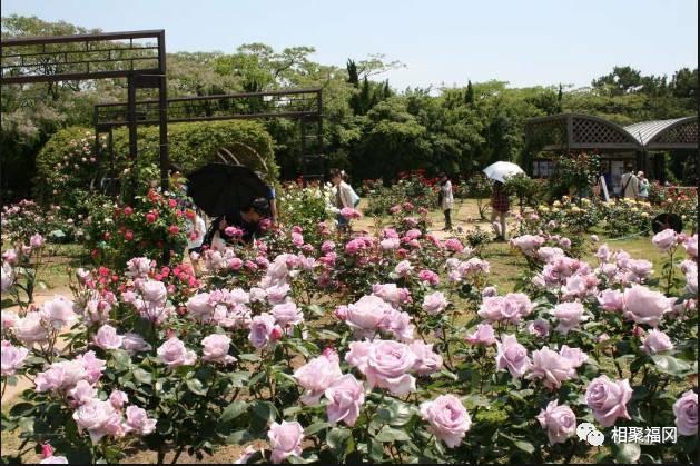 玫瑰之恋,初夏相约日本九州的浪漫之旅