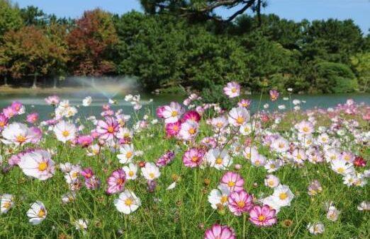 日本福冈的秋天就是看花的季节,这些赏花地方不容错过