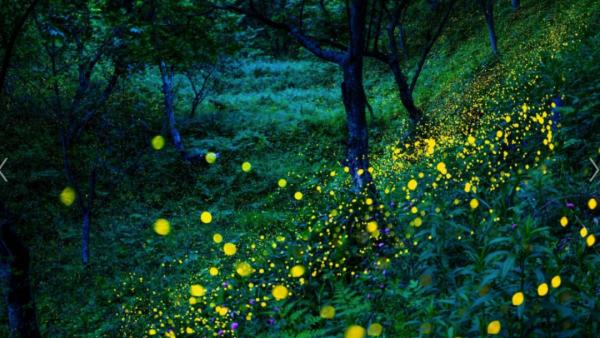 邂逅萤火虫的梦境,在日本这些地方看最美仲夏夜!