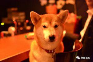 日本柴犬竟然自己开酒吧,真的吗?去的时候算上我