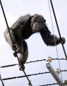日本动物园的如同搞笑节目的演示居然成真了,一只猩猩跑了……