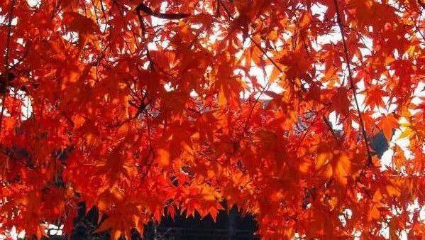 带大家去实地看看日本大大兴善寺的红叶,这才是日本秋天的味道