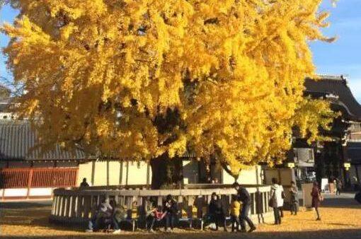 【日本自由行之京都】被金色覆盖的老城市,京都银杏五大景点推荐