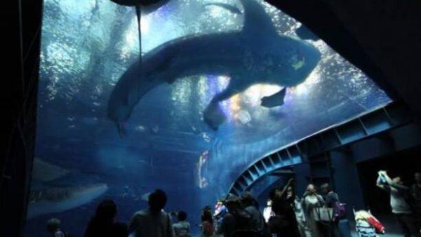 【日本九州自由行之冲绳】冲绳美丽海水族馆,如同置身于海洋世界,邂逅长达8.4米的大鲸鲨!