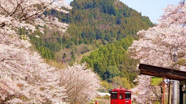 日本九州樱花盛开的秘境车站,我用了三年拍摄,今年带你们云赏樱