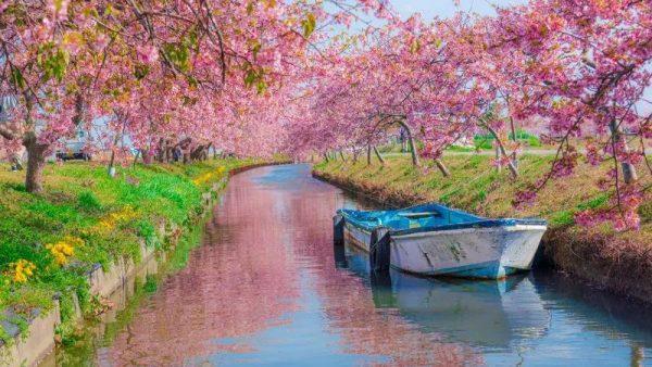 当所有人跑去日本赏樱,却不知道这里还有一处早樱胜地……